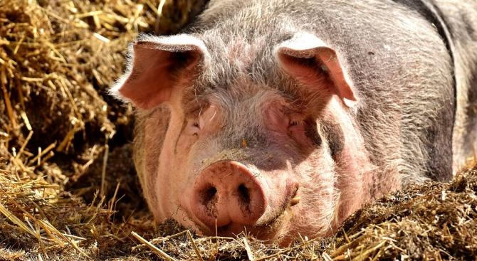 Започва евтаназията на прасета в ромския квартал на Видин
