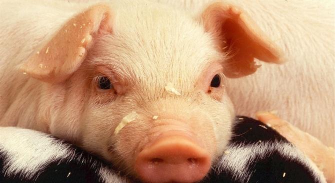 Не откриха африканска чума по свинете в Юделник