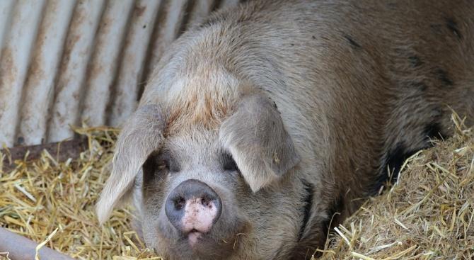 Въведена е 20-километрова санитарна зона около пет свинекомплекса в Пазарджишко