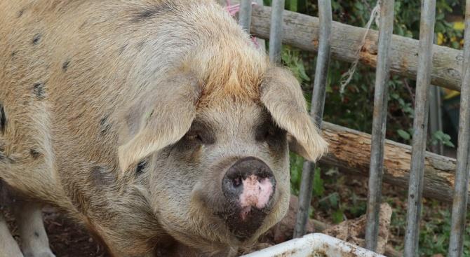 След като африканската чума по свинете превзе нови териториим, държавата