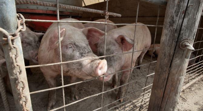 В Пазарджишка област срокът за доброволно умъртвяване на прасета от