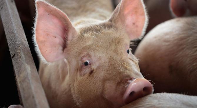 Протест заради принудителното избиване на домашни прасета