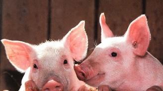 БАБХ потвърди огнище на чума и в Свищовско. Засегнат е пак свинекомплекс със 17 000 животни