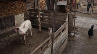 В радиус от 20 км около два големи свинекомплекса във Великотърновска област се преустановява отглеждането на дворни свине