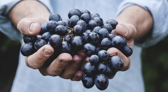 Стотици декари унищожена реколта от грозде в село Долна Градешница.