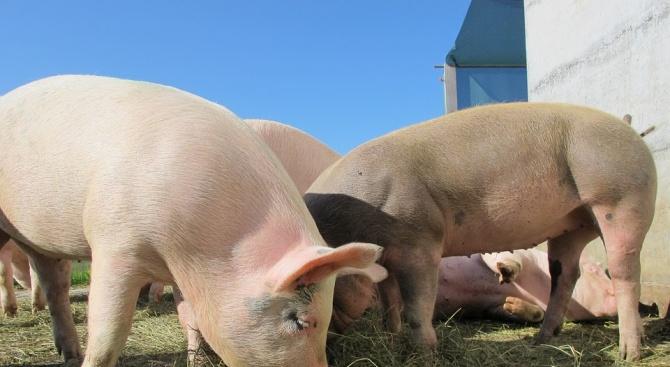 80 работници от свинекомплекса в село Българско Сливово са се регистрирали като безработни