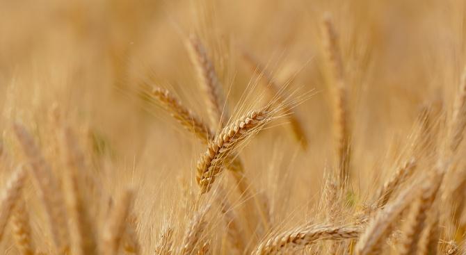 Зърнопроизводителите в Добричкия регионочакват търсенето на хлебна пшеницада расте