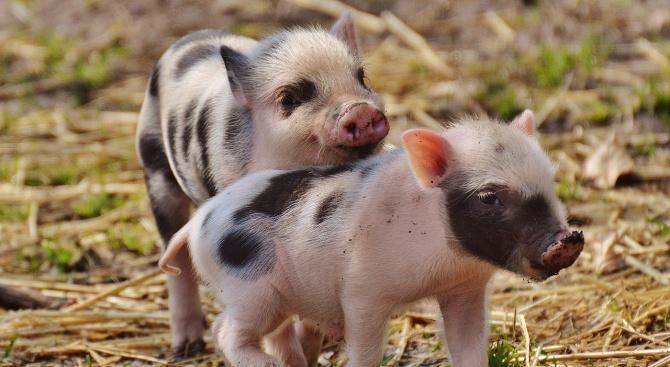 Собственици на домашни прасета от тунджанското село Безмер ще изпратят