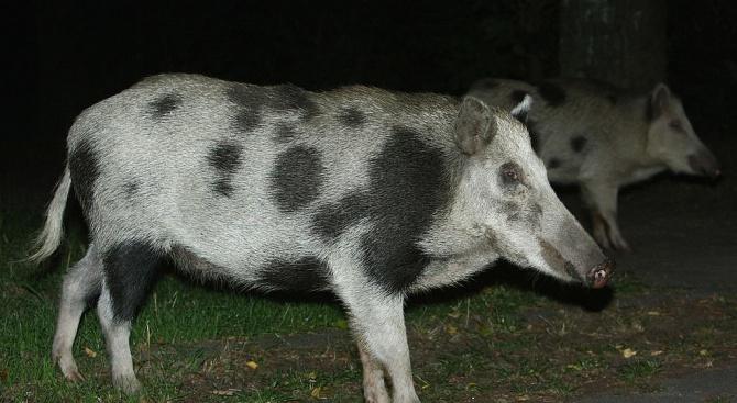 Преброяване установи около 250 диви прасета в националните паркове ''Пирин'' и ''Рила''