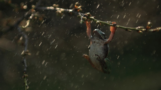 Биолози откриха 11 нови вида дъждовни жаби в Андите