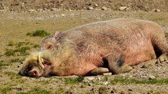 Регистрираха положителна проба наафриканска чума от труп на диво прасе във видинско село