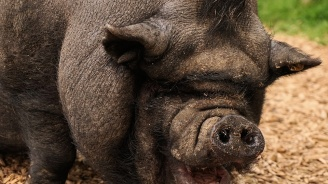 ЕК потвърди готовността си да помогне на България в борбата с чумата по свинете