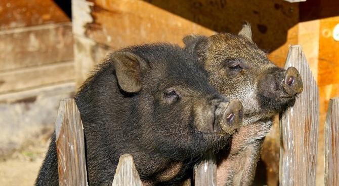 Почти всички домашни прасета в Пловдивска област са изклани доброволно