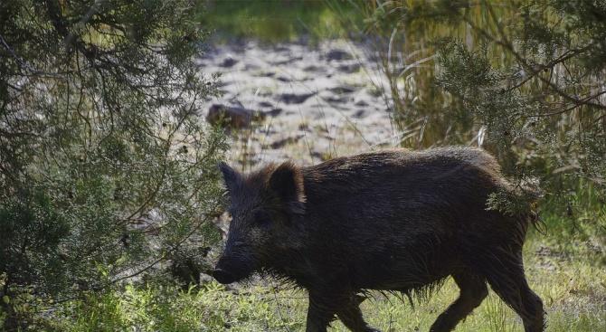 БАБХ констатира нови случаи на африканска чума при диви свине