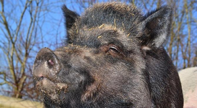 Няма нови сигнали за заразени с африканска чума животни в област Велико Търново
