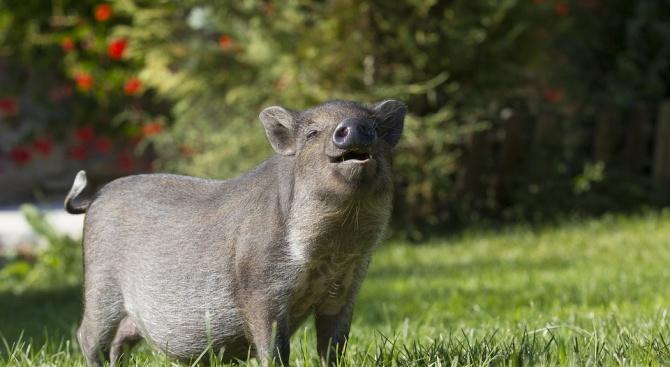Нови 7 положителни проби за Африканска чума по свинете (АЧС)