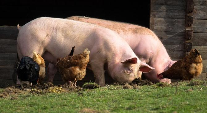 В област Плевен са умъртвени до днес доброволно домашните прасета