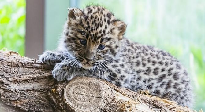 Снимка: Бебета леопарди от критично застрашен вид дебютираха пред публика в зоопарк в САЩ