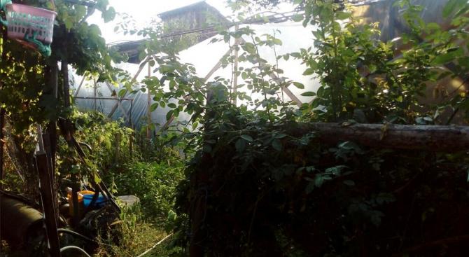 Наркооранжерия в Костандово е открита от служители на РУ-Ракитово. Операцията