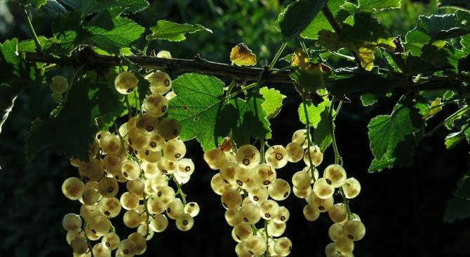 Заради дъждовното лято производителите на грозде от Русе и Свищов