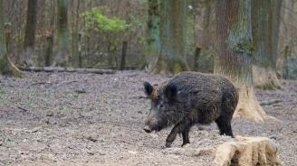 Няма опасност за живота на туриста, нападнат от диво прасе