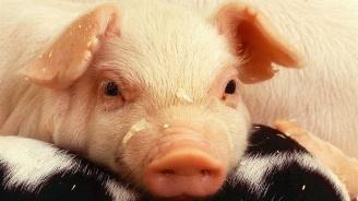 Проверяват дали стопаните са унищожили свинете си в Пазарджишко