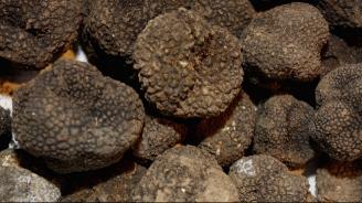 Търсачите на трюфели в Добричкия регион могат да влизат само в горите, отдалечени на 10 км от свинеферми