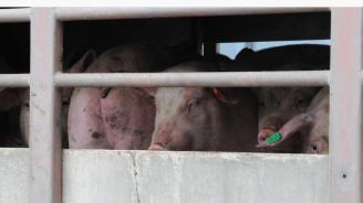 5 281 прасета са умъртвени доброволно в област Сливен
