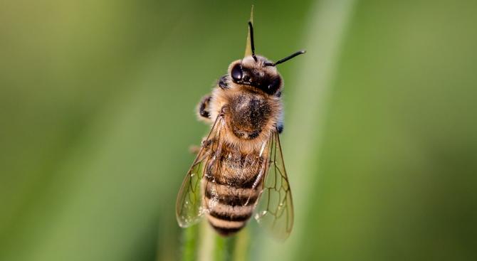 Ужилване от пчела уби 30-годишен мъж в Мизия. Трагедията е