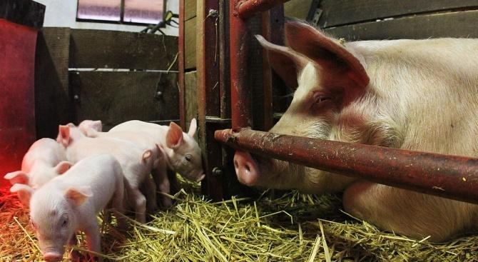 Регистрираха нов случай на африканска чума по свинете