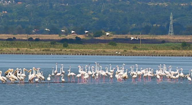 Снимка: Рекорден брой розови фламинги в Атанасовското езеро