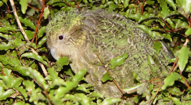 Снимка: Новозеландските папагали какапо се увеличават