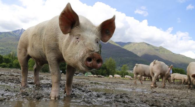 Снимка: Ново огнище на африканска чума в свинеферма в Русенска област