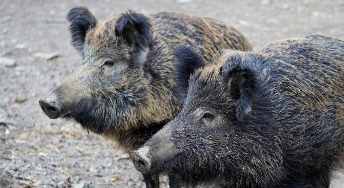 Втори случай на Африканска чума по свинете е регистриран в