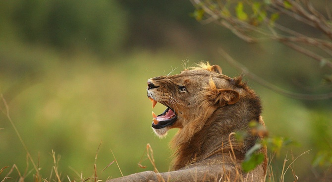 Мъж е бил убит този вторник, след като лъвовете, които