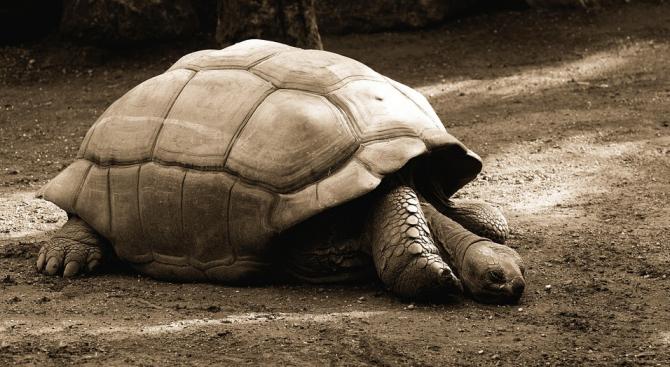 Томи - женската херманова костенурка на Шийла Флорис от английския