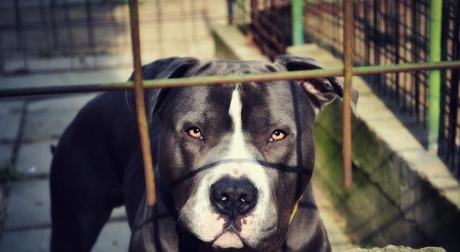 Три години близо 40 питбула, тренирани за кучешки боеве, се