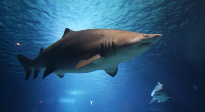 В американския щат Калифорния куче нападна акула, за да защити