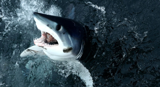 Ограничават улова на акулите мако, критично застрашени са