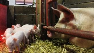 10 семейства не са умъртвили доброволно прасетата си в Кресна