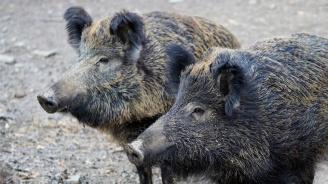 Втори случай на Африканска чума по свинете в община Велинград