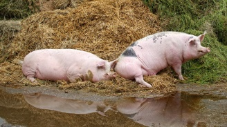 В Плевенско са евтаназирани принудително и загробени през последните дни 13 домашни прасета