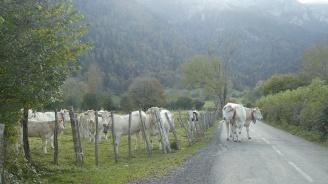 Катастрофа с крава в Джебел, собственичката изпуснала животното