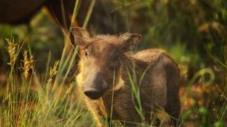 Диво прасе в капан даде положителна проба за африканска чума