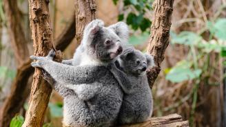 Коали в Австралия са хранени с капсули, съдържащи фекалии
