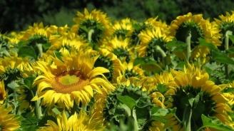 Полицията издирва неизвестен, прибрал реколтата от слънчогледова нива край Балчик