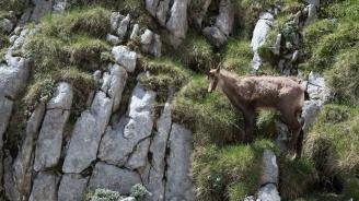 WWF: Разширяването на туристическите зони в Пирин заплашва и дивите кози