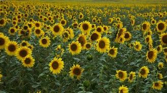 Жътвата на слънчогледа в Русенско започна при среден добив 267 кг/дка