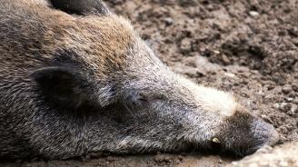 Откриха мъртва дива свиня във Варненско, чакат резултати от пробите за африканска чума