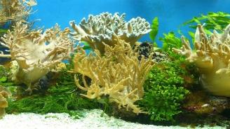 Експерти за пръв път размножиха атлантически корали в лаборатория